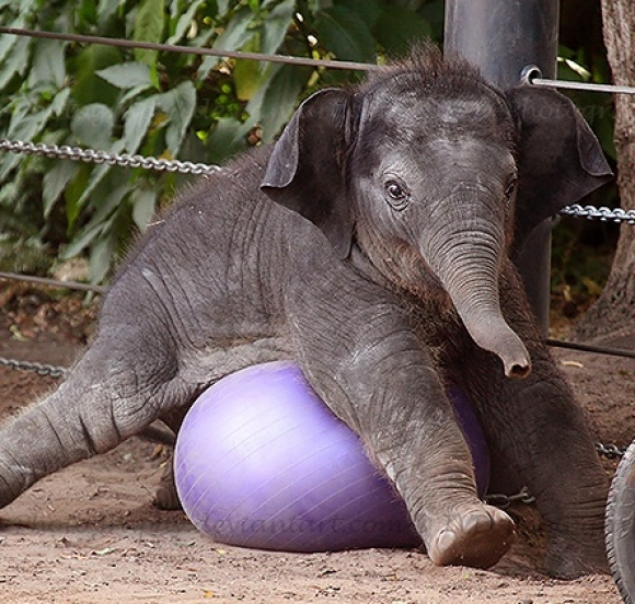 l-Baby-Elephant