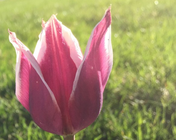 morning tulip